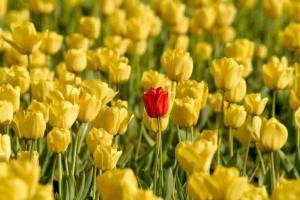 red tulip among many yellow tulips