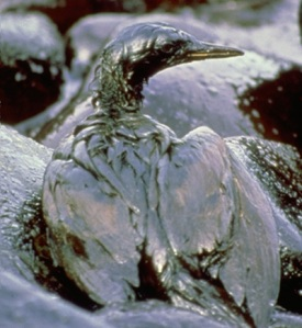 bird covered in oil, gulf coast oil disaster